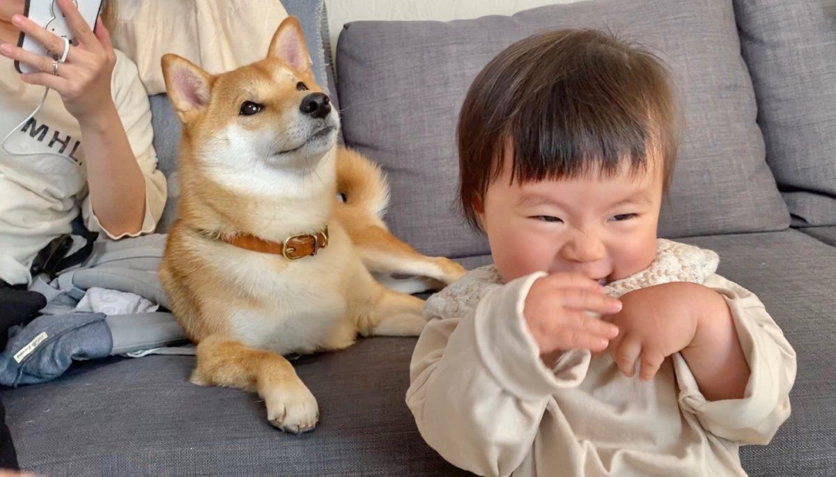 りんご 郎 ブログ 柴犬兄さんの名前を娘が少しずつ呼べるようになってきました