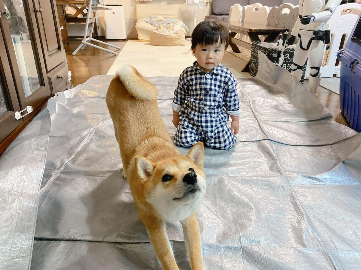 郎 柴犬 りんご 食事中に逆立ちしちゃう柴犬! 生後2カ月りんご郎、飼い主に聞いた
