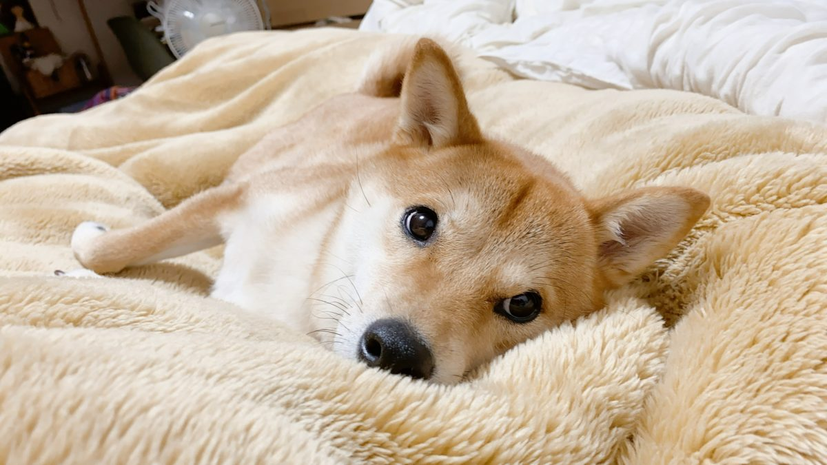 くっつい 寝る 犬 て